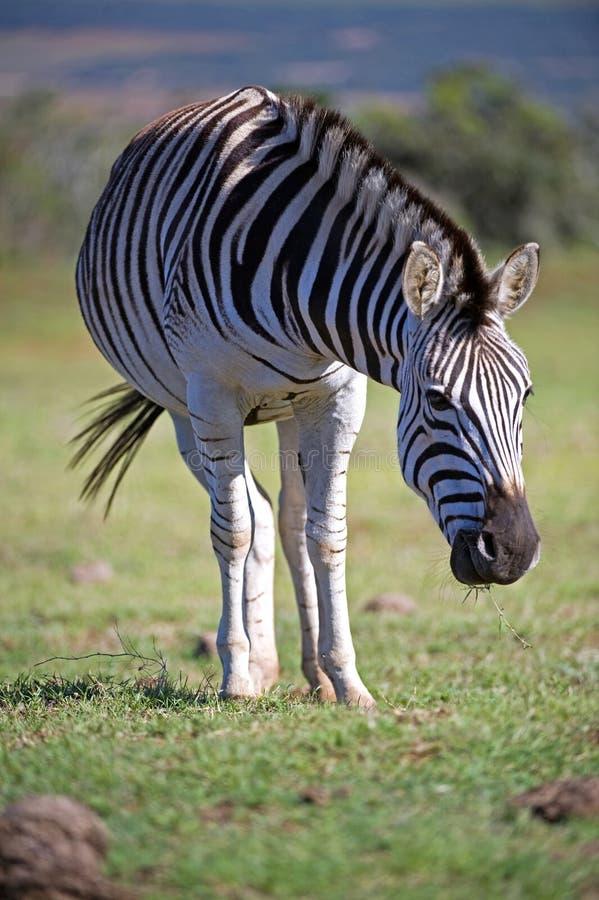 Schwangerer Zebra stockbilder