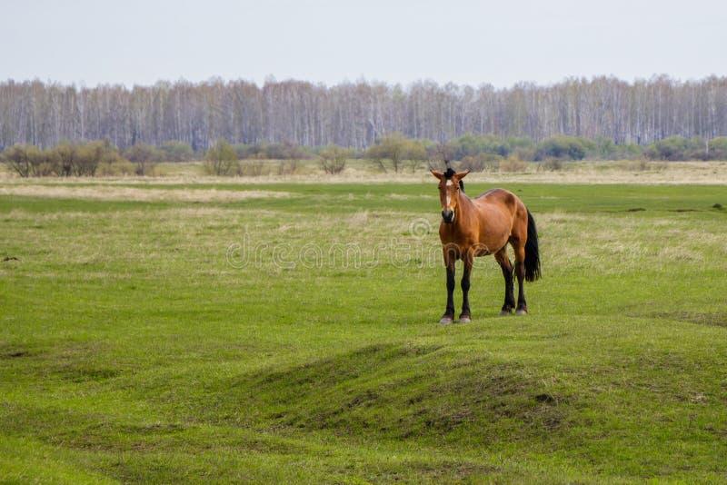 Schwangeres Pferd in der Weide, welche die Kamera betrachtet stockbilder