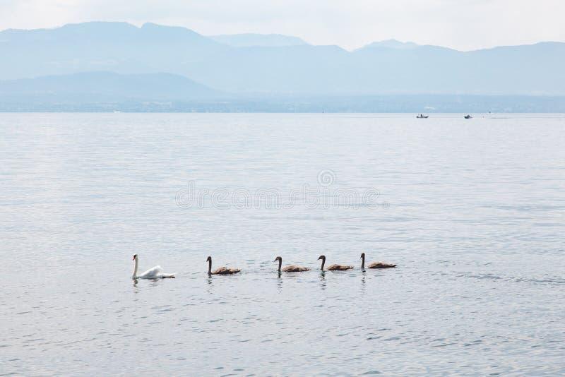 Schwanmutter mit Babys auf Geneva Lake See Leman, die Schweiz lizenzfreie stockfotografie