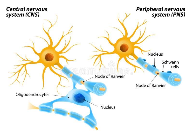 Schwann komórki i Oligodendrocytes royalty ilustracja
