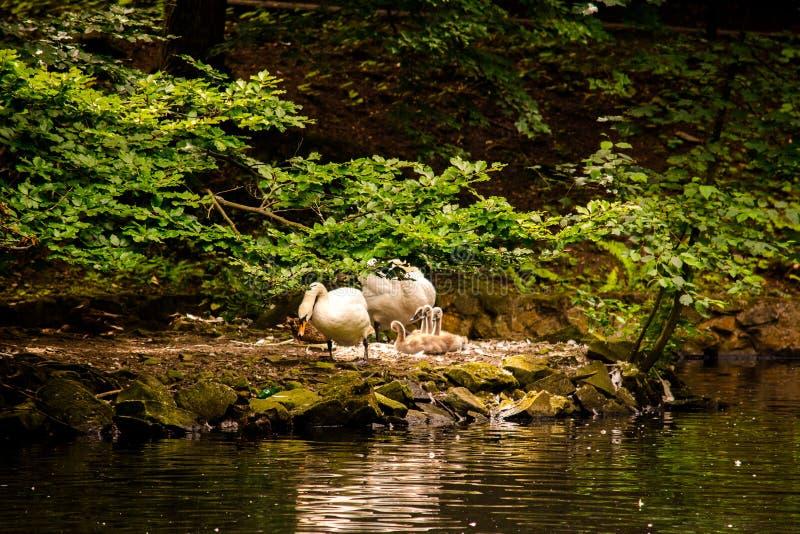 Schwanpaare mit Küken nahe dem Wasser unter einem Baum stockfoto