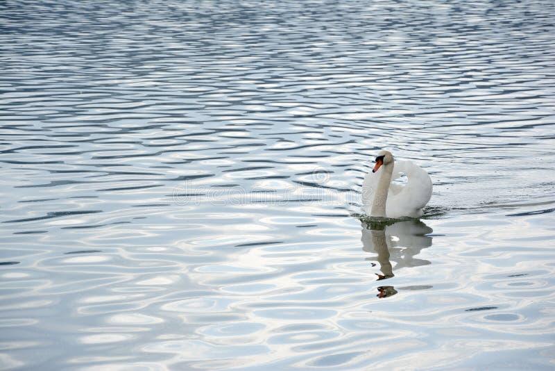 Schwanschwimmen im Seewasser lizenzfreie stockfotografie