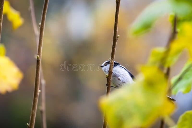 Long-tailed tit / long-tailed bushtit / Aegithalos caudatus. Long-tailed tit or long-tailed bushtit / Aegithalos caudatus sitting on a branch in aun / fall stock image