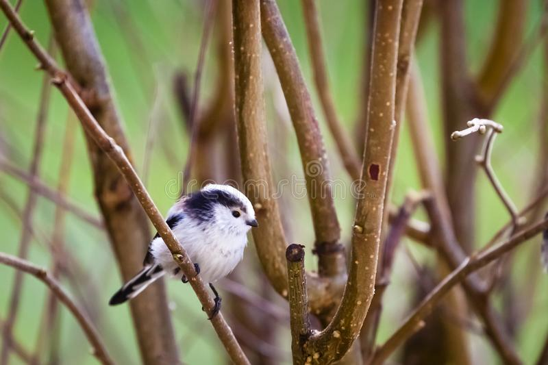 Long-tailed tit / long-tailed bushtit / Aegithalos caudatus stock photo