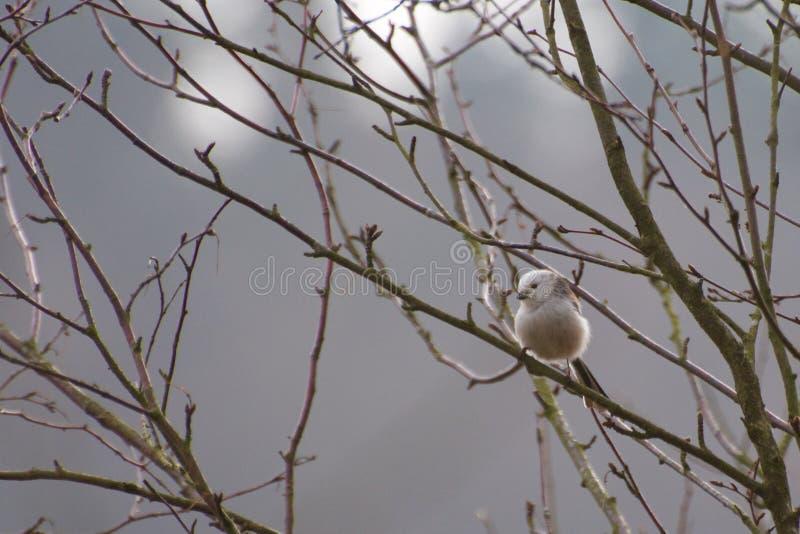Schwanzmeise im Baum lizenzfreies stockbild