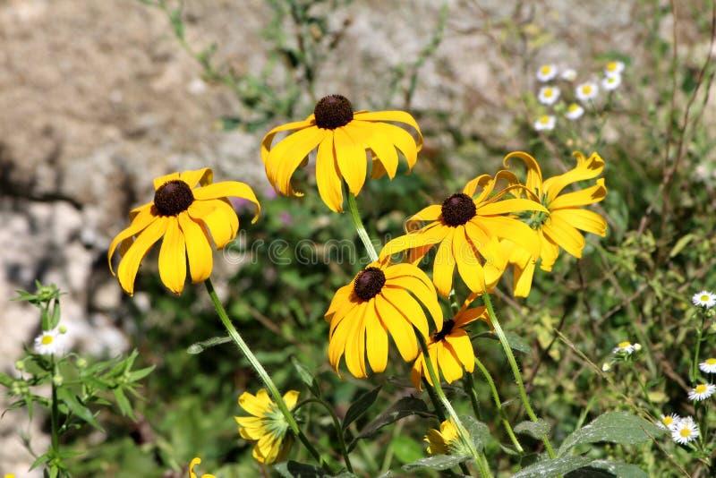 Schwarz-äugiges Susan- oder Rudbeckiahirta blühende helle gelbe Blumen mit schwarzer Mitte auf Grünblättern und Steinwandhintergr lizenzfreie stockbilder