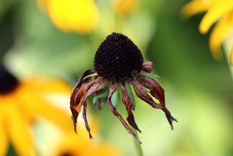 Schwarz-äugiges Susan- oder Rudbeckiahirta Köpfchen mit den vollständig verwelkten Blumenblättern und Mitte des dunklen Schwarzen lizenzfreie stockbilder