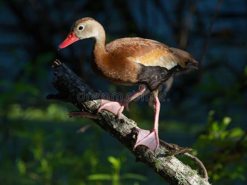 Schwarz-aufgeblähte pfeifende Ente lizenzfreie stockfotografie