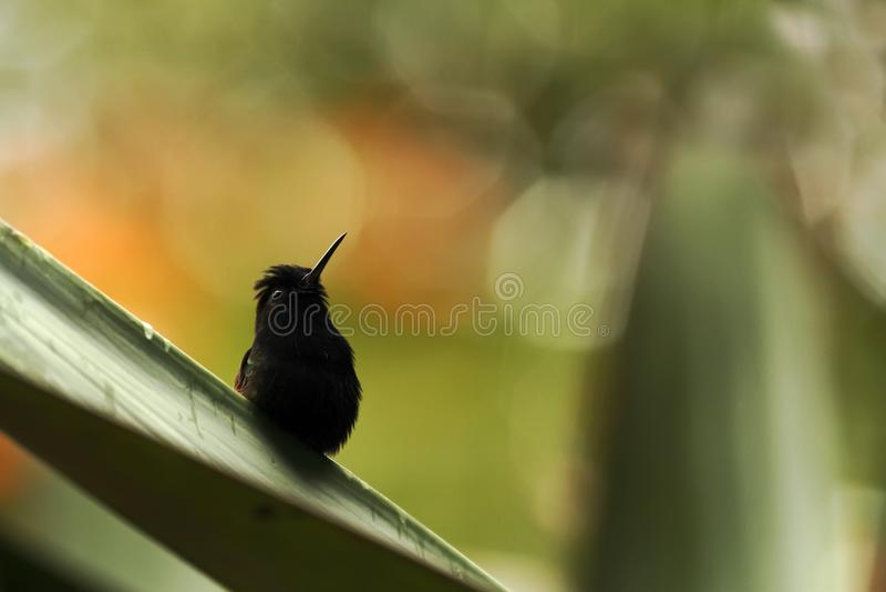 Schwarz-aufgeblähter Kolibri, der auf Blatt, bunter Hintergrund, schöner kleiner schwarzer Kolibri, Vogel stillsteht auf Blume ho stockfoto