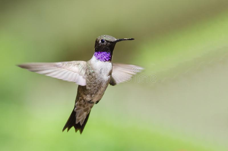 Schwarz--Chinned Kolibri mit der Kehle strahlend beim im Flug schweben stockfotografie
