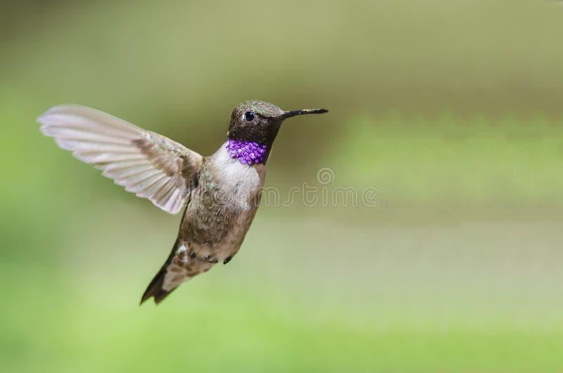Schwarz--Chinned Kolibri mit der Kehle strahlend beim im Flug schweben lizenzfreie stockbilder