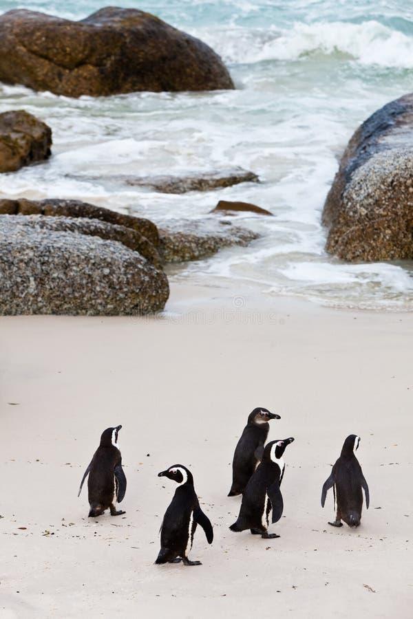Schwarz-füßige afrikanische Pinguine auf dem Strand lizenzfreies stockbild