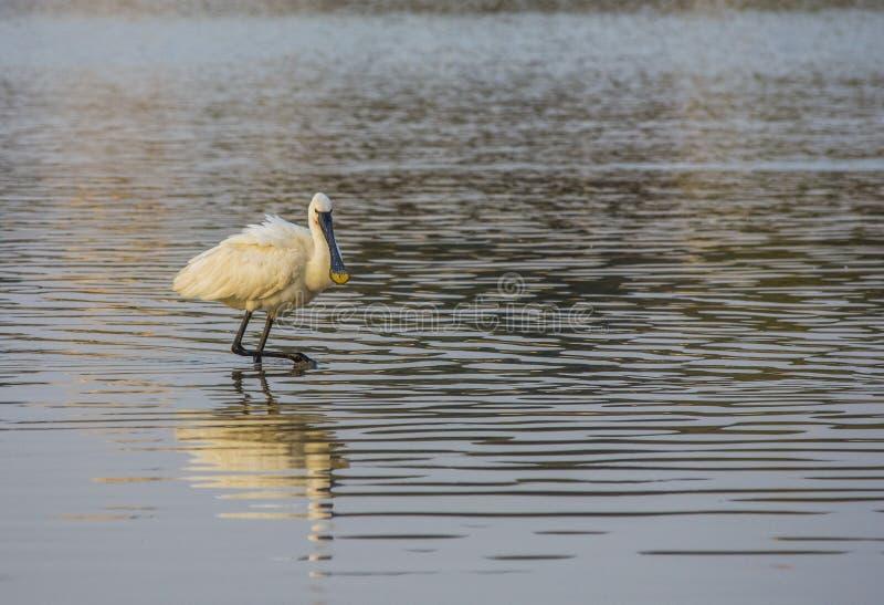 Schwarz-gesichtiger Spoonbillweg im ruhigen Wasser von Teich stockfoto