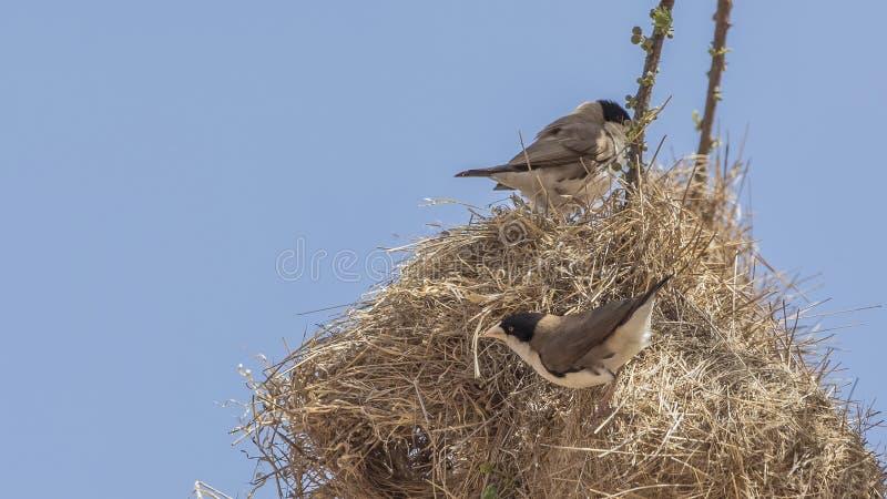 Schwarz-mit einer Kappe bedeckter Sozial-Weber auf Nest stockfotografie