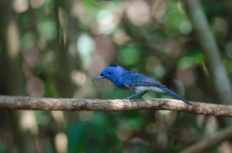 Download Schwarz--naped Monarch In Der Natur Stockfoto - Bild von hintergrund, monarch: 96930382