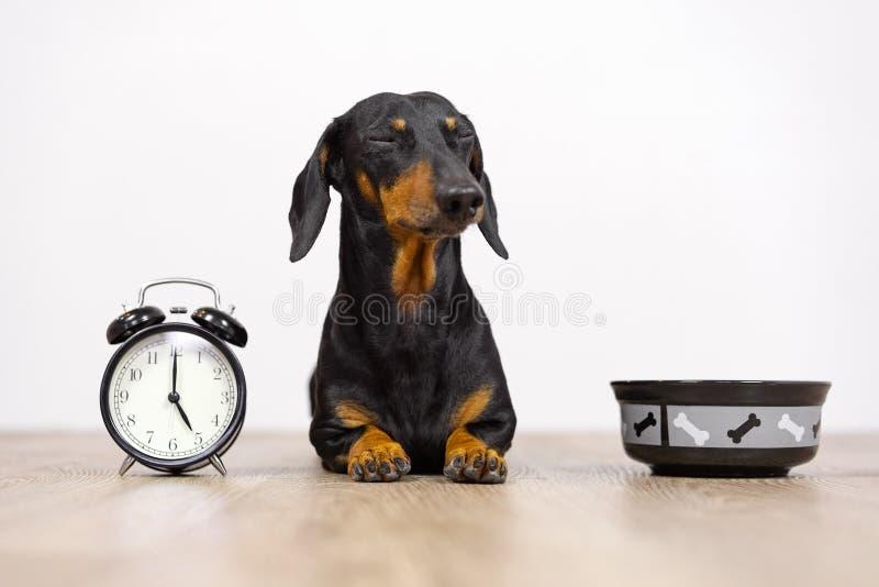 Schwarz und bräunen Sie Hunderasse, die Dachshund am Boden mit einer Schüssel und einem Wecker sitzen, geblinkt und Wartung Nahru stockfoto