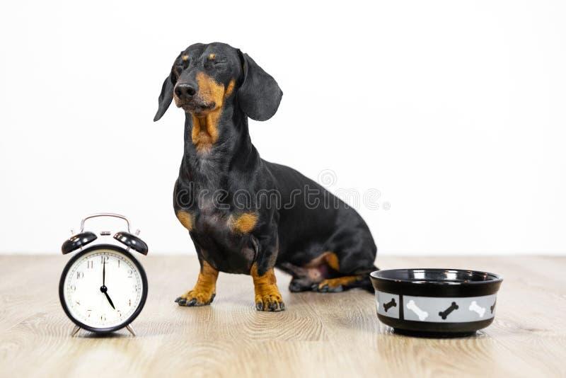 Schwarz und bräunen Sie Hunderasse, die Dachshund am Boden mit einer Schüssel und einem Wecker sitzen, geblinkt und Wartung Nahru stockbilder