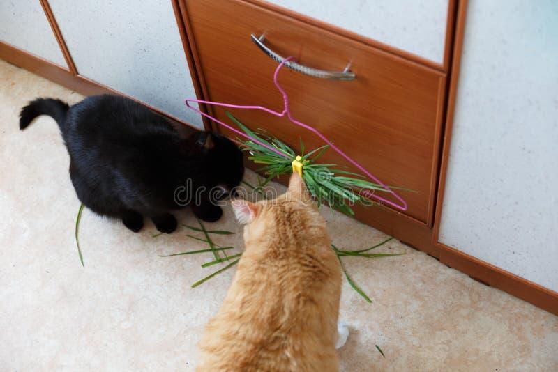 Schwarz und eine Rothaarigekatze essen Sie grünes Gras, um Verdauung zu verbessern Bündel grünes Gras für Katzen in der Wohnung lizenzfreie stockfotografie