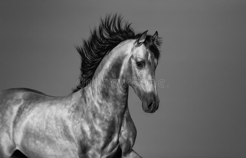 Schwarz-Weiß-andalusisches Pferd in Bewegung stockfoto