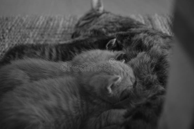 Schwarz-Weiß-Fotografie von 3 Kätzchen, die direkt von ihrer Mutterkatze essen stockfotos