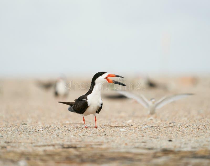 Schwarze Abstreicheisen, die um den Strand mit einer wenigen Seeschwalbe im Hintergrund ersuchen stockfotografie