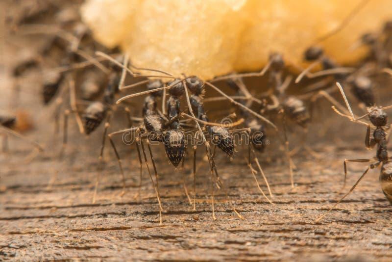 Schwarze Ameisen verderben Lebensmittel lizenzfreie stockfotografie