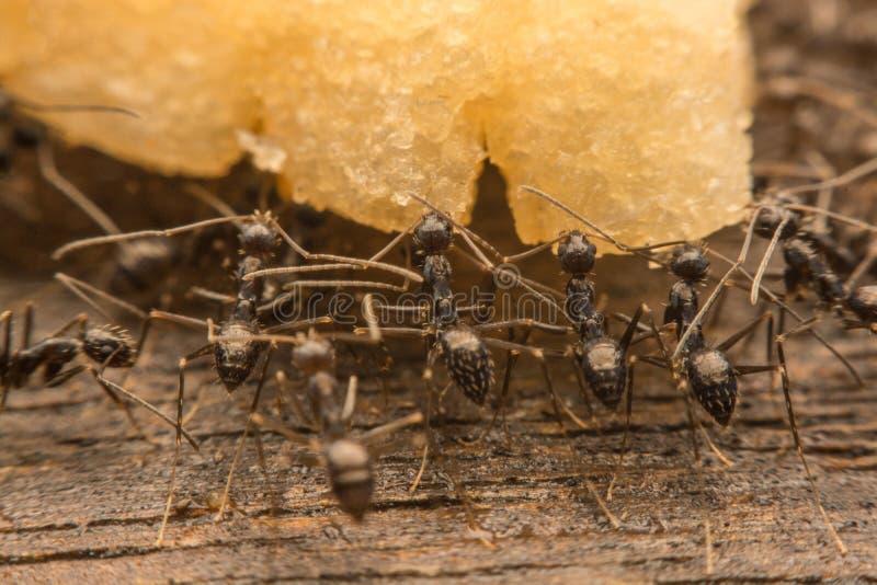 Schwarze Ameisen verderben Lebensmittel lizenzfreie stockbilder