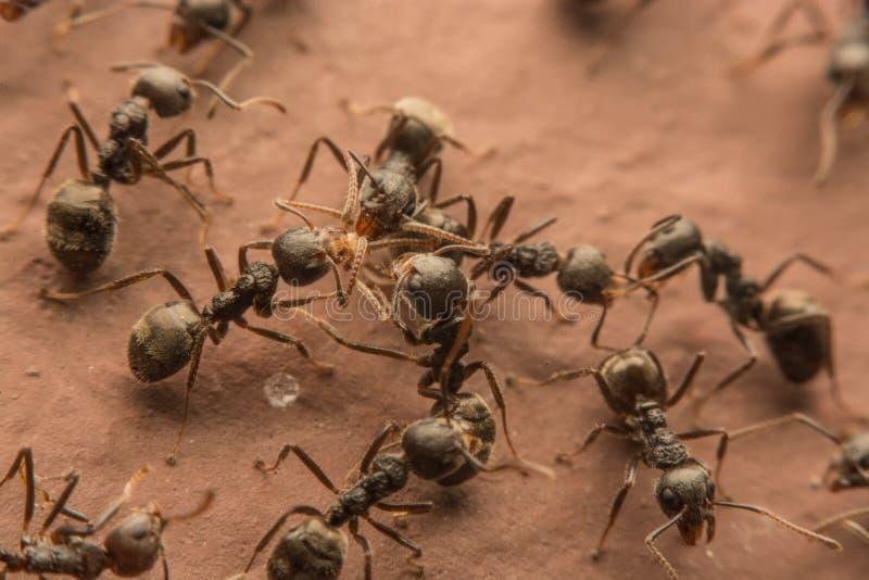 Schwarze Ameisen verderben Lebensmittel lizenzfreie stockfotos