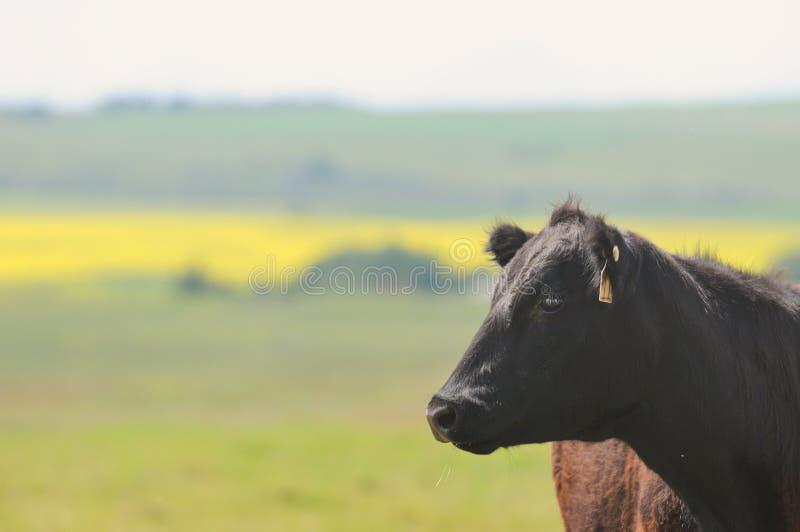 Schwarze Angus-Kuh auf dem Gebiet des grünen Grases mit bokeh lizenzfreie stockfotografie