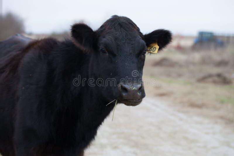 Schwarze Angus-Kuh auf einer Rinderfarm stockbilder