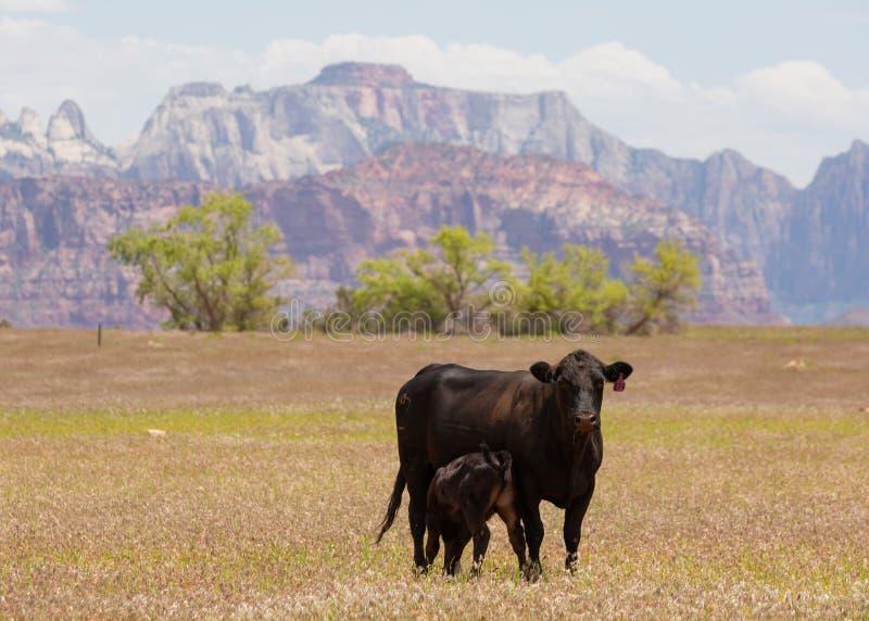 Schwarze Angus-Kuh und -kalb im Gewann stockfoto