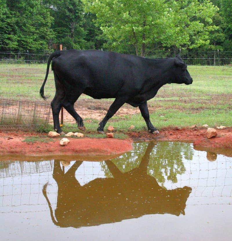 Schwarze Angus-Kuh und Reflexion stockbilder