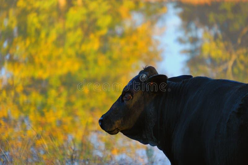 Schwarze Angus-Kuh während des Falles lizenzfreies stockfoto