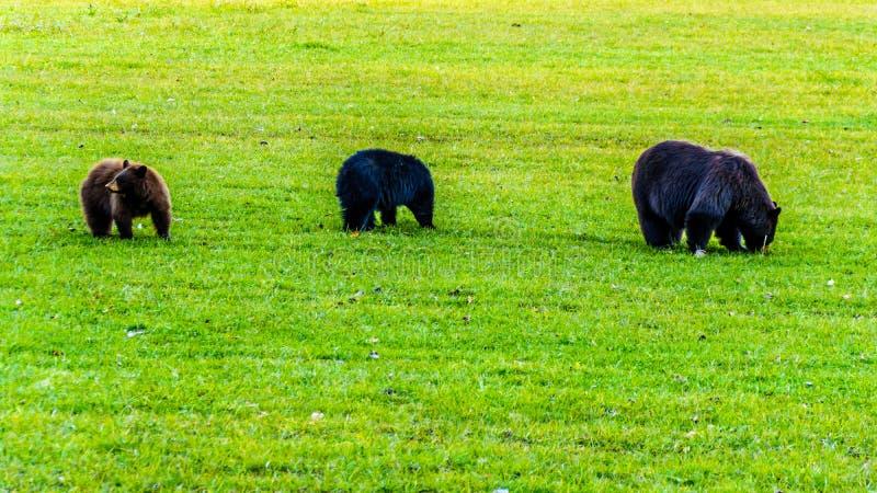 Schwarze Bären mit einem starken Pelz, der auf einem Gebiet im frühen Winter vor dem Gehen in Winterschlaf in Wells Grey Provinci lizenzfreie stockfotos