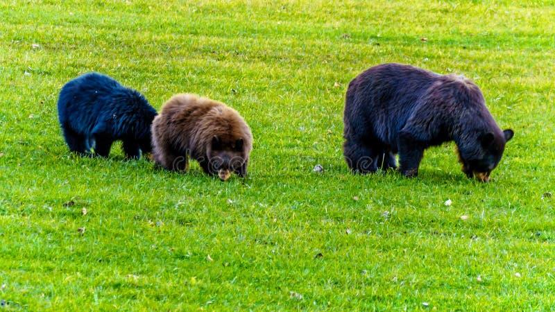 Schwarze Bären mit einem starken Pelz, der auf einem Gebiet im frühen Winter vor dem Gehen in Winterschlaf in Wells Grey Provinci stockbilder