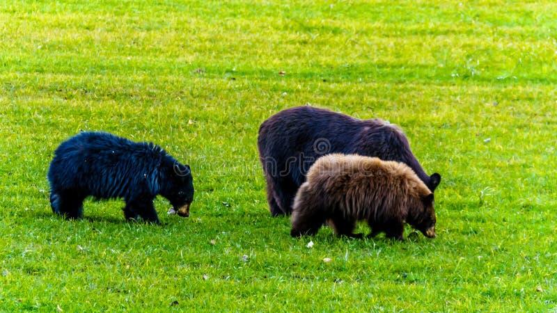 Schwarze Bären mit einem starken Pelz, der auf einem Gebiet im frühen Winter vor dem Gehen in Winterschlaf in Wells Grey Provinci lizenzfreie stockfotografie