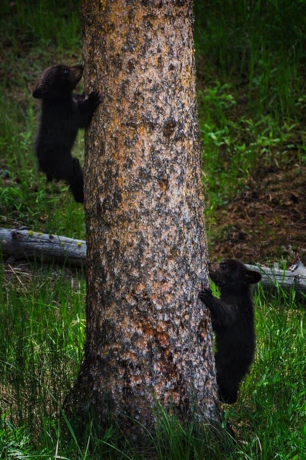 Schwarze Bärenjunge auf Baumstamm lizenzfreie stockfotos