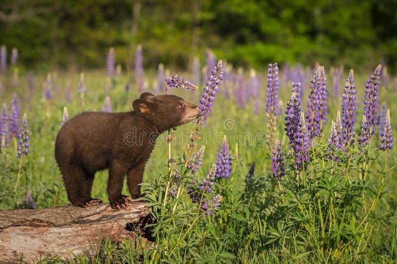 Schwarze Bärenjungs-Ursus-Atemzüge americanus an der Lupine lizenzfreie stockfotos
