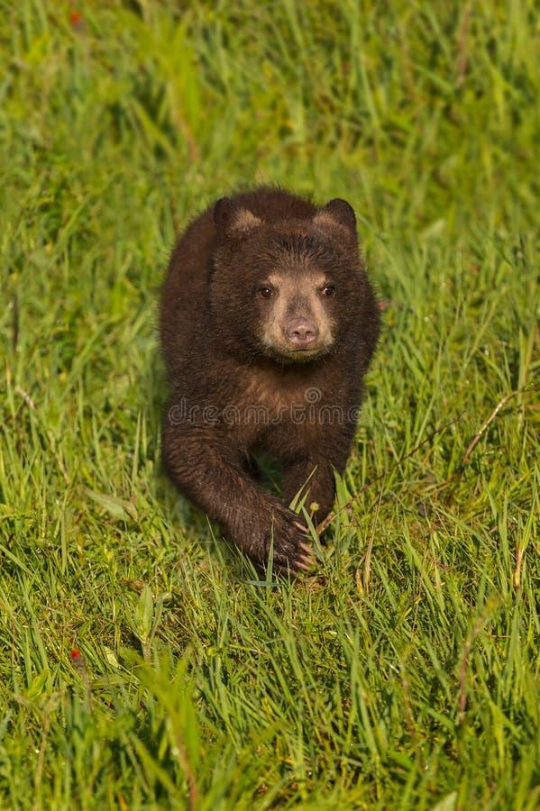 Schwarze Bärenjungs-Ursus-Läufe americanus vorwärts durch Gras stockbilder