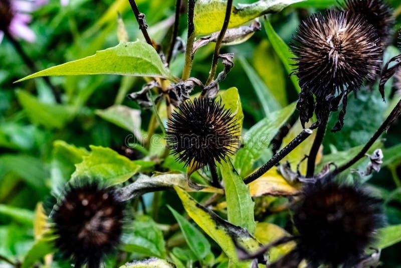 Schwarze Büro-Samenhülsen übrig geblieben von den purpurroten Kegelblumen auf einem Fall lizenzfreie stockbilder
