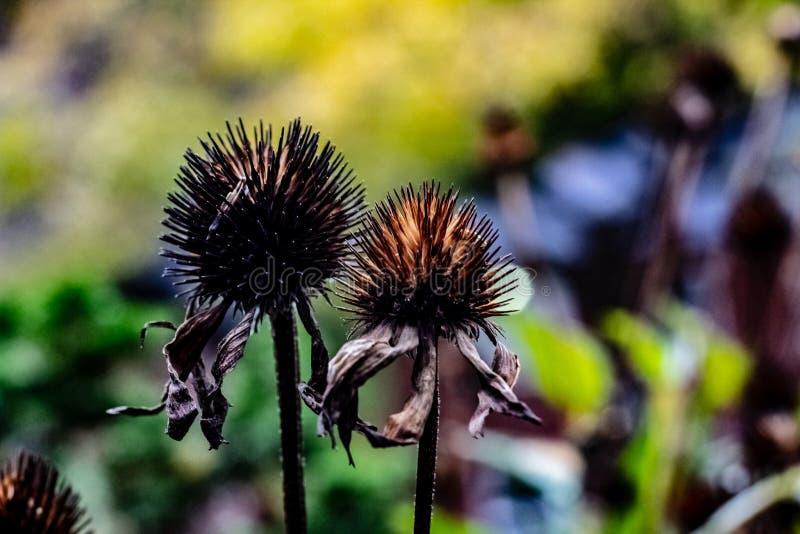 Schwarze Büro-Samenhülsen übrig geblieben von den purpurroten Kegelblumen auf einem Fall lizenzfreies stockbild