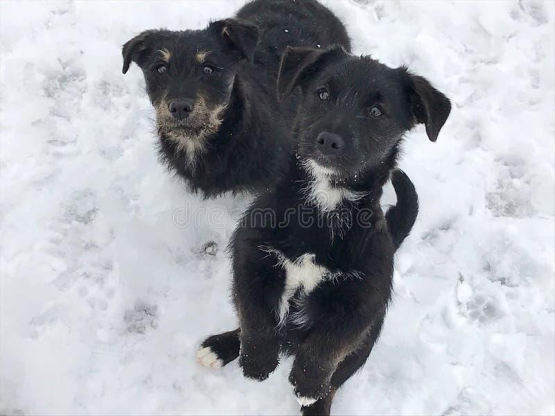 Schwarze Babyhunde auf Schnee stockfotografie