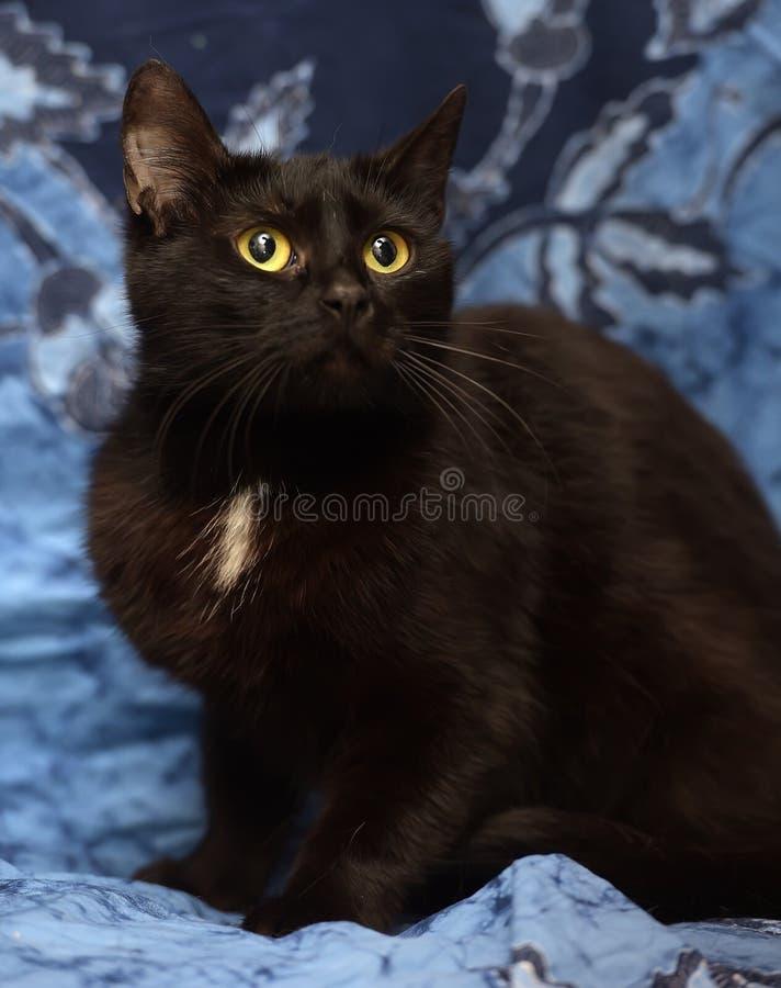 Schwarze Bombay-Katze mit einem kleinen Fleck auf dem Kasten stockbild