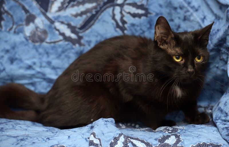 Schwarze Bombay-Katze mit einem kleinen Fleck auf dem Kasten lizenzfreies stockfoto