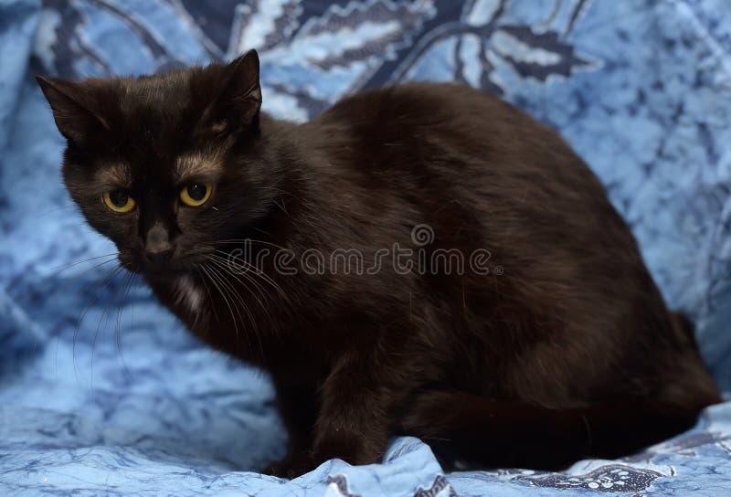 Schwarze Bombay-Katze mit einem kleinen Fleck auf dem Kasten lizenzfreies stockbild