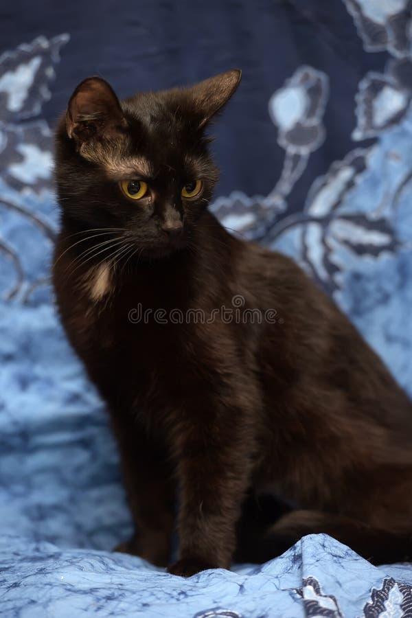 Schwarze Bombay-Katze mit einem kleinen Fleck auf dem Kasten stockfoto