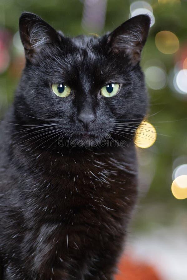 Schwarze Bombay-Katze mit einem Weihnachtsbaum im Hintergrund lizenzfreie stockbilder