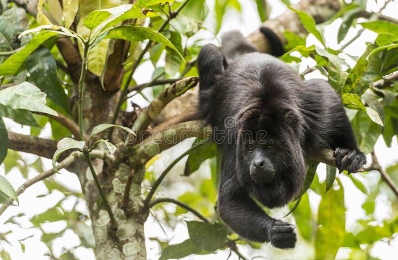 Schwarze Brüllaffe, die von den Bäumen schwingt lizenzfreie stockbilder