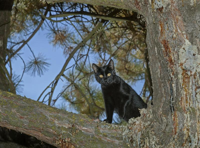 Schwarze Cat Looking Down von einer Kiefer lizenzfreie stockfotos