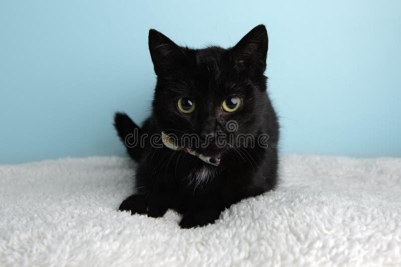 Schwarze Cat Portrait im Studio und im Tragen einer Fliege stockfotos